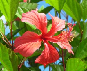 Hibiscus in Vanuatu