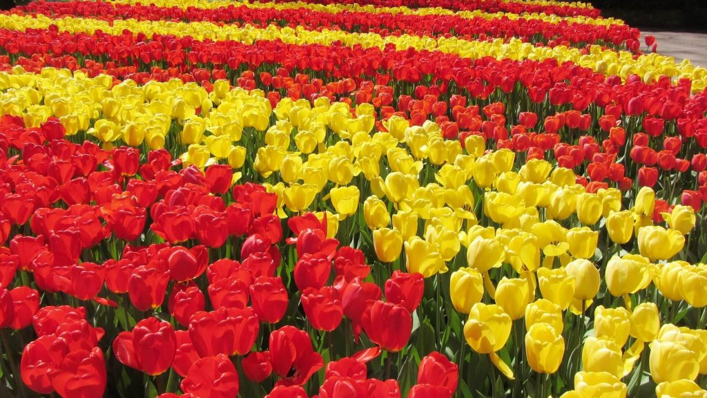 Fields of red and yellow tulips at Keukenhof, Netherlands