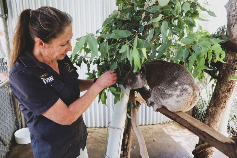 Volunteer helping with koalas in Australia