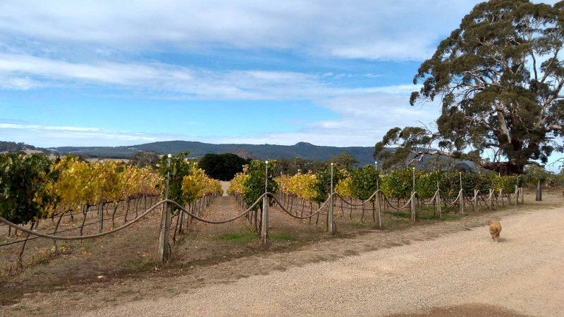 View of Yarra Valley vineyard