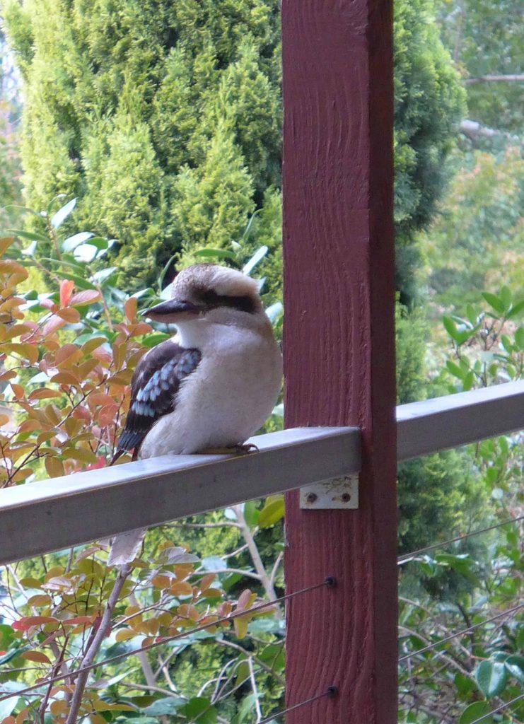 Kookaburra sitting on a window ledge in Macedon Australia - a great stop when wine touring in Victoria
